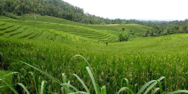 Hamparan sawah di Desa Gunung Salak, Selemadeg Timur, Tabanan, Bali