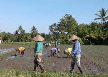 Nandur, menanam padi di Bali. Foto/Made Nurbawa