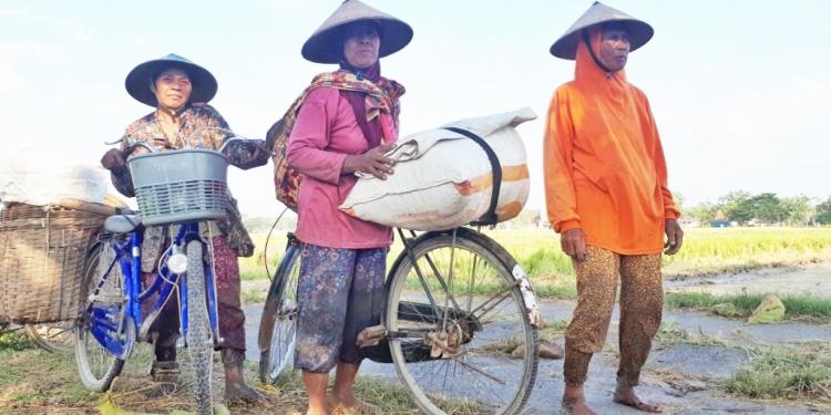 Perempuan-perempuan ngampung, memburu sisa panen, di Desa Karanganyar, Kecamatan Sambungmacan, Sragen, Jawa Tengah.