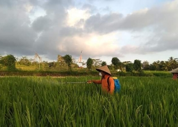 Petani muda di tengah sawah