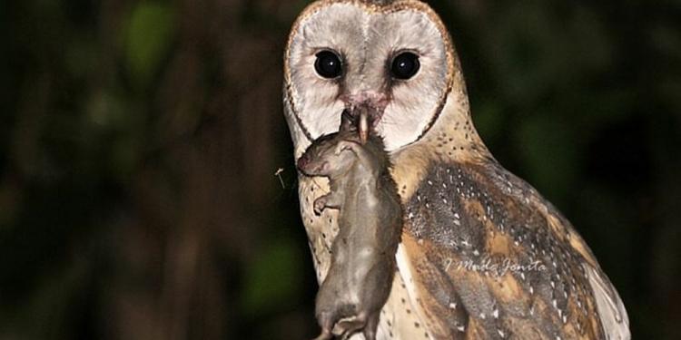 Tyto Alba, si burung hantu dari Banjar Pagi, Tabanan. (Foto: IG Made Jonita)