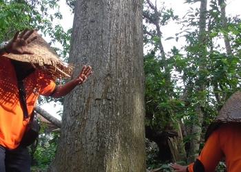 Penderita kewanian bisa sembuh setelah sembahyang dan menari-nari mengelilingi pohon wani [Foto Kardian]