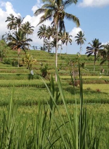 Pemandangan persawahan tepi jalan di jalur Denpasar-Buleleng lewat Petang