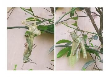 Belalang dalam proses makules [ganti kulit] di sebuah pohon di halaman rumah [Foto Mas Ruscitadewi]