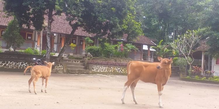 Sapi masuk sekolah di sebuah desa di pedalaman Karangasem [Foto Wayan Paing]