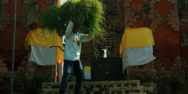 Seorang petani mencari rumput di Pura Desa Kalianget, Buleleng, Bali