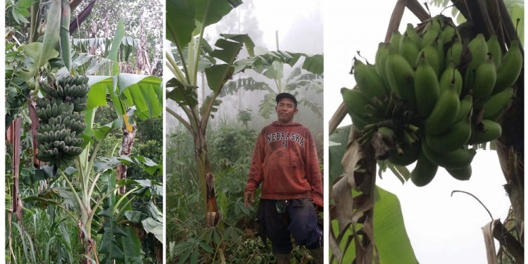 Pisang bali dan pisang susu dari Desa Siakin, Kintamani, Bangli