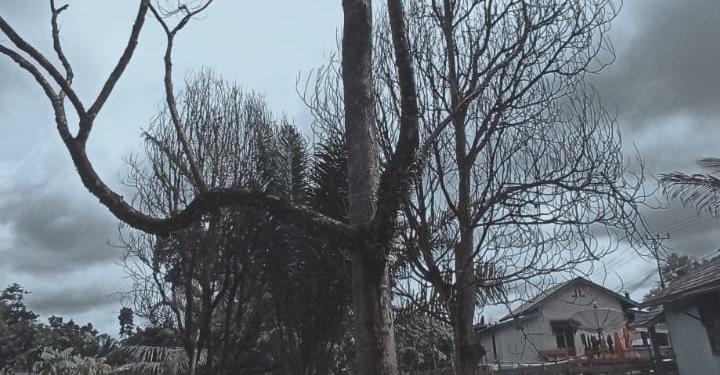 Pohon duku yang berduka [Foto L Taji]
