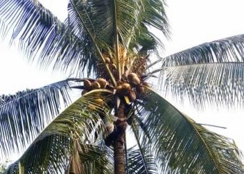 Jro Alap Wayan Sidiana memanjat pohon kelapa di Desa Les, Buleleng